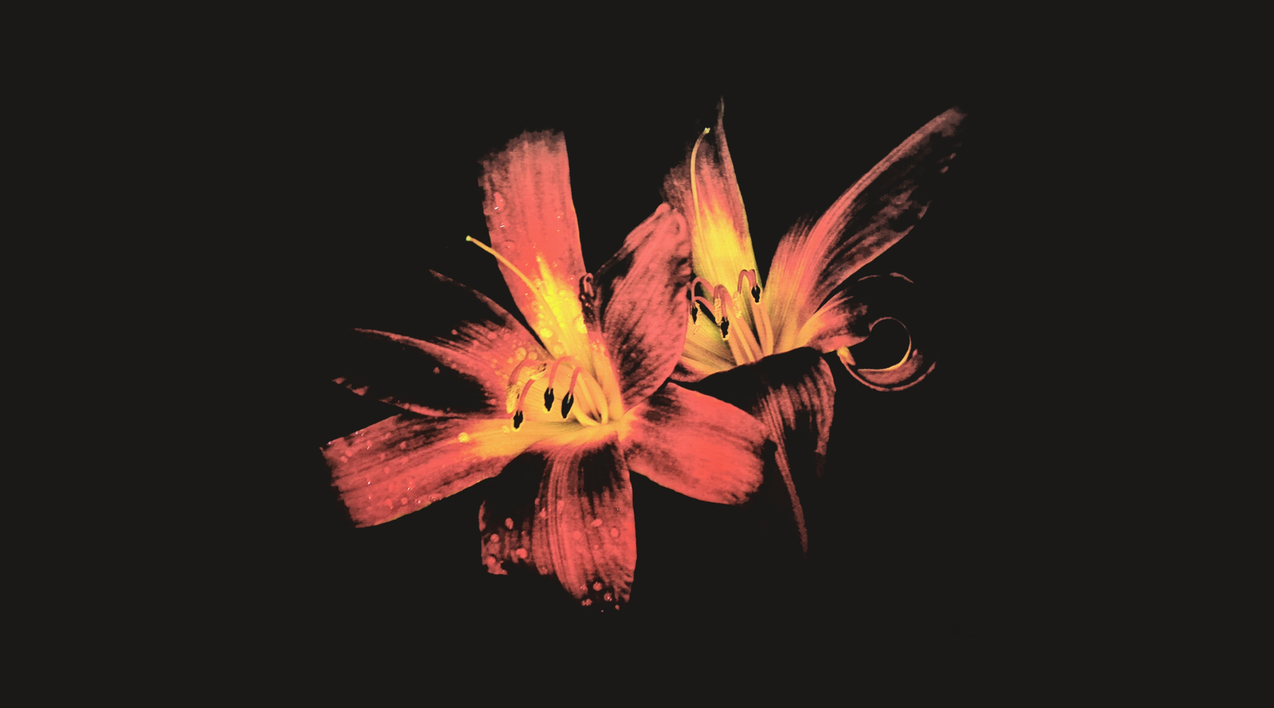 Day Lily by Herb Kuhl