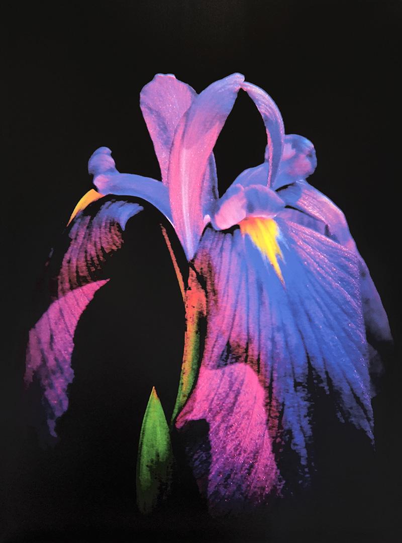 Japanese Iris by Herb Kuhl