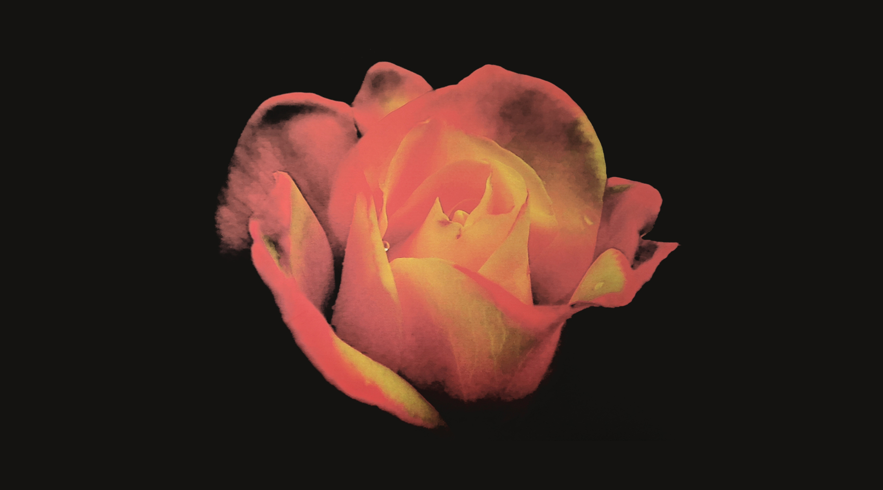 Rose by Herb Kuhl