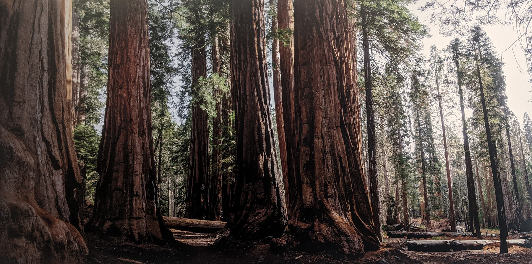 Sequoia Forest by Jeff Scott